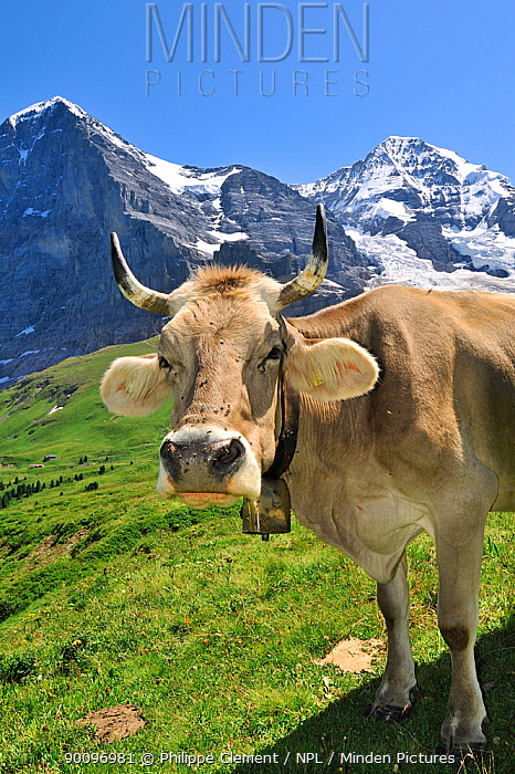 Brown alpine cow (Bos taurus) wearing a bell in meadow, the Eiger behind, Swiss Alps, Switzerland, July 2009  -  Philippe Clement/ npl