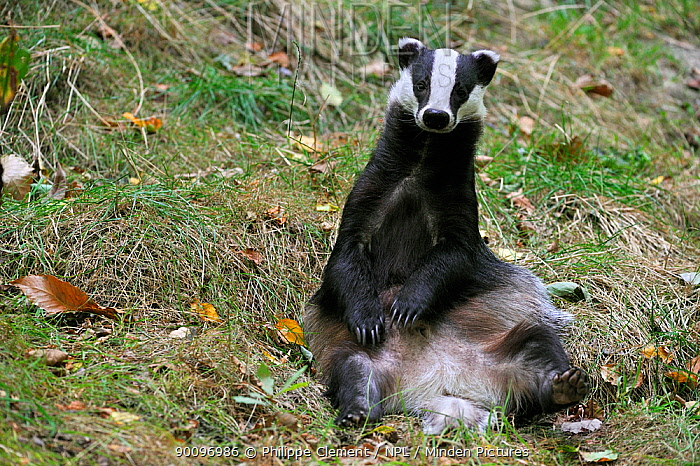 Badger (Meles meles) sitting upright in meadow, captive, UK  -  Philippe Clement/ npl