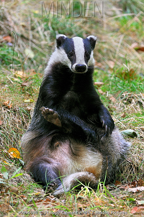 Badger (Meles meles) sitting upright in meadow grooming its hind leg, captive, UK  -  Philippe Clement/ npl