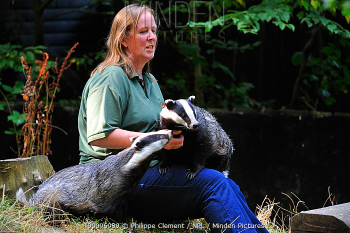 Zoo keeper with two orphaned Badgers (Meles meles) Wildwood animal park, Kent, UK  -  Philippe Clement/ npl