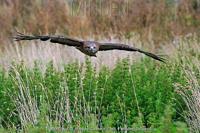 Common buzzard (Buteo buteo) flying over meadow, captive, England, UK  -  Philippe Clement/ npl