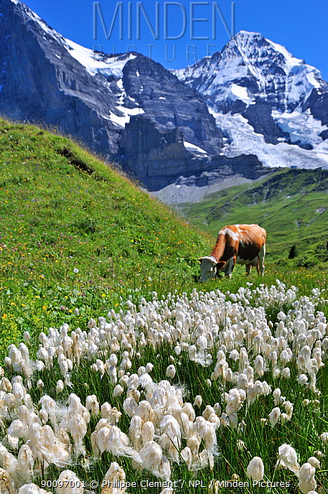 Common cotton grass (Eriophorum angustifolium) in alpine meadow with cow grazing, Switzerland, July 2009  -  Philippe Clement/ npl