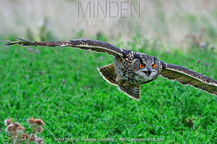 Eagle owl (Bubo bubo) in flight, captive, England, UK  -  Philippe Clement/ npl