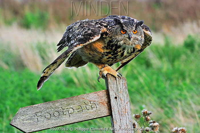Eagle owl (Bubo bubo) ready to fly away from signpost, captive, England, UK  -  Philippe Clement/ npl