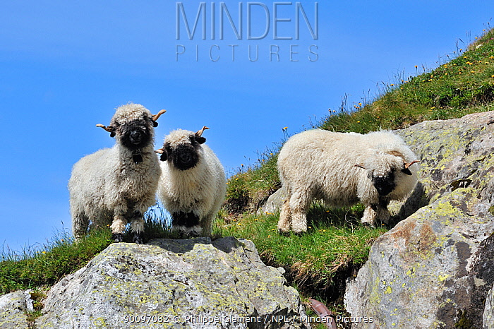 Three Valais Blacknose, Blacknosed Swiss sheep (Ovis aries) Valais, Switzerland  -  Philippe Clement/ npl