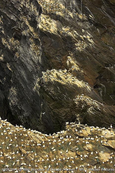 Northern gannet (Morus bassanus) colony, Hermaness, Shetland Isles, Scotland, July 2007  -  WWE/ Green/ npl