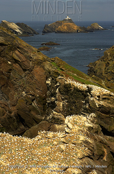 Northern gannet (Morus bassanus) colony on coastal cliffs, Hermaness, Shetland Isles, Scotland, July 2007  -  WWE/ Green/ npl