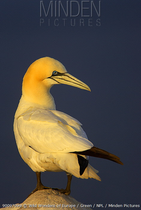 Northern gannet (Morus bassanus) standing on rock, Saltee Islands, Ireland, May 2008  -  WWE/ Green/ npl