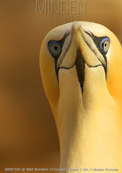 Northern gannet (Morus bassanus) portrait, Saltee Islands, Ireland, May 2008  -  WWE/ Green/ npl