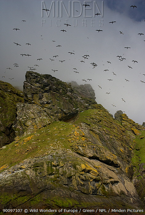 Northern gannets (Morus bassanus) in flight over cliffs, St Kilda, Scotland, May 2009  -  WWE/ Green/ npl