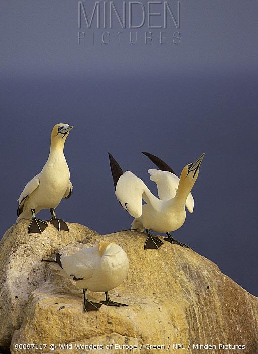 Northern gannets (Morus bassanus) on rock displaying, Saltee Islands, Ireland, June 2009  -  WWE/ Green/ npl