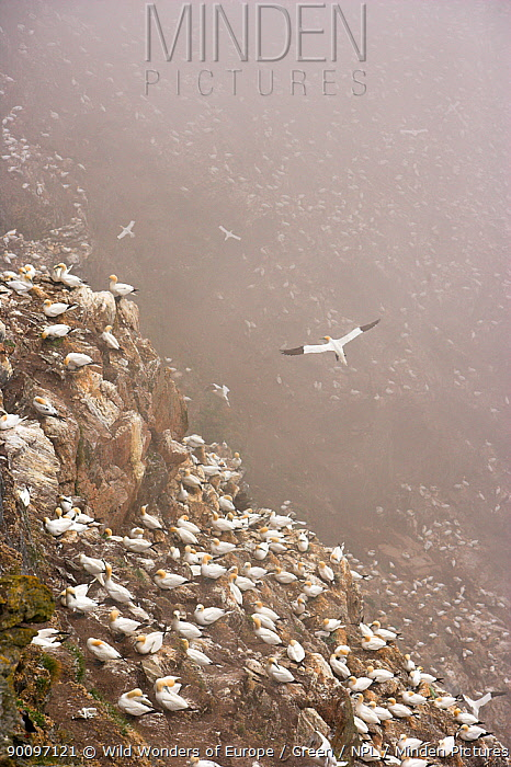 Northern gannet (Morus bassanus) colony in mist, Hermaness, Shetland Isles, Scotland, July 2009  -  WWE/ Green/ npl