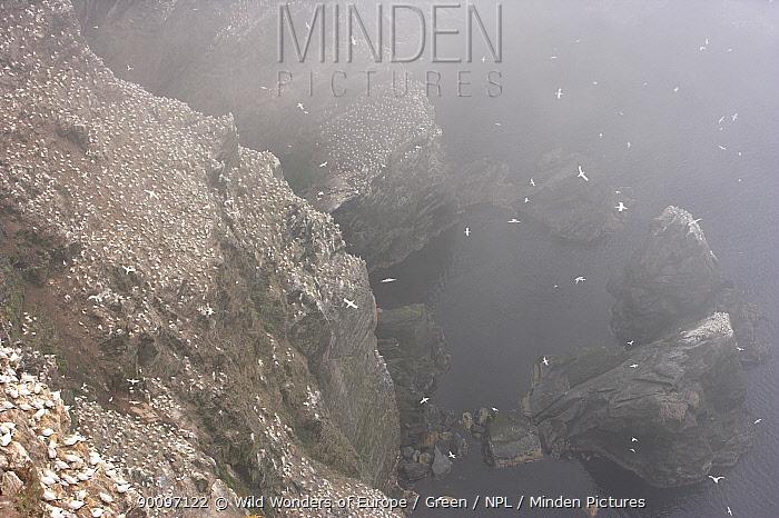 Northern gannet (Morus bassanus) colony on cliffs in mist, Hermaness, Shetland Isles, Scotland, July 2009  -  WWE/ Green/ npl