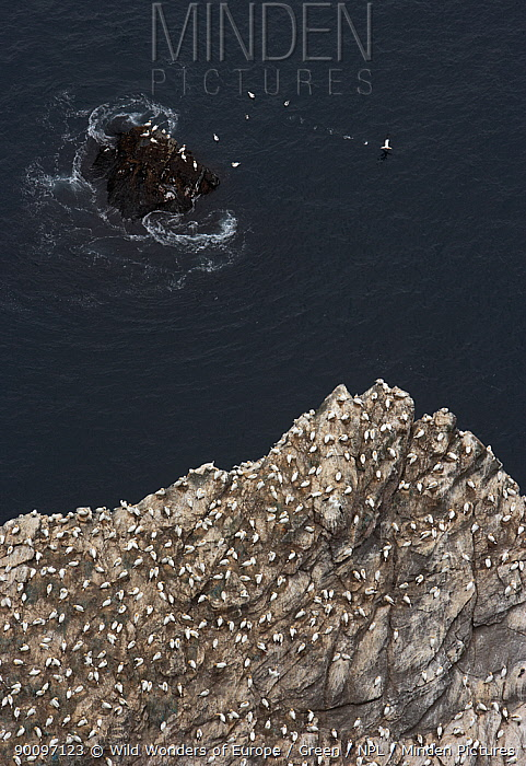 Northern gannet (Morus bassanus) colony on cliff, Hermaness, Shetland Isles, Scotland, July 2009  -  WWE/ Green/ npl