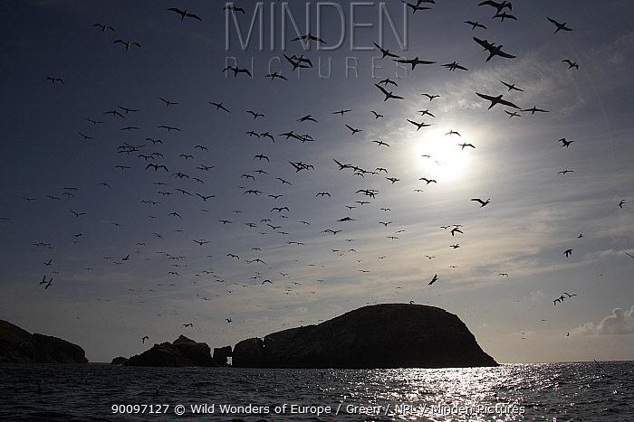 Northern gannets (Morus bassanus) in flight, The Flannans, Outer Hebrides, Scotland, July 2009  -  WWE/ Green/ npl