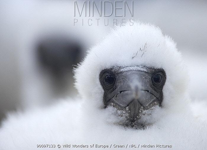 Young Northern gannet (Morus bassanus) chick, Bass Rock, Firth of Forth, Scotland, August 2009  -  WWE/ Green/ npl