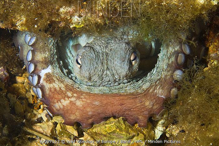 Common octopus (Octopus vulgaris) in hole, Larvotto Marine Reserve, Monaco, Mediterranean Sea, July 2009  -  WWE/ Banfi/ npl