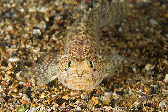 Sarato goby (Gobius fallax) on seabed, Marine Reserve, Monaco, Mediterranean Sea, July 2009  -  WWE/ Banfi/ npl