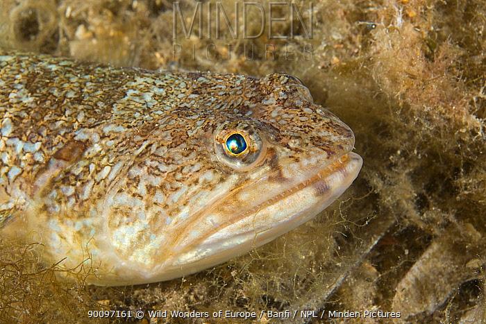 Greater weeverfish (Trachinus draco) portrait, Larvotto Marine Reserve, Monaco, Mediterranean Sea, July 2009  -  WWE/ Banfi/ npl