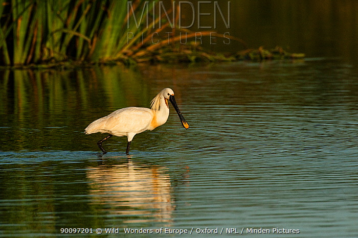 White spoonbill (Platalea leucorodia) walking through water, wetland reserve, Do�ana National and Natural Park, Huelva Province, Andalusia, Spain, May 2009  -  WWE/ Oxford/ npl