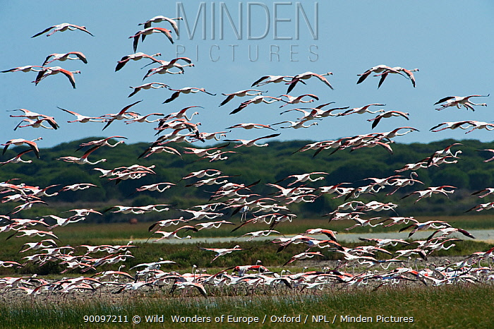 Flock of Greater flamingos (Phoenicopterus ruber) in flight, Do�ana National and Natural Park, Huelva Province, Andalusia, Spain, May 2009  -  WWE/ Oxford/ npl
