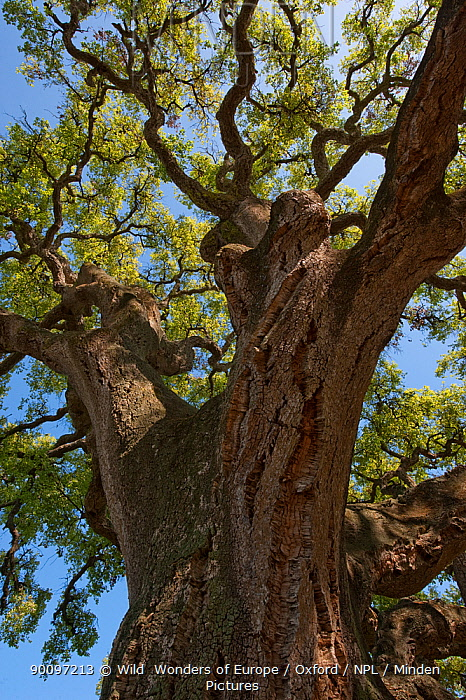 Cork oak tree (Quercus suber) Do�ana National and Natural Park, Huelva Province, Andalusia, Spain, May 2009  -  WWE/ Oxford/ npl