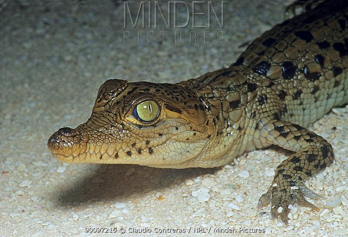 American crocodile (Crocodylus acutus) newly hatched, Cayo Centro, Banco Chinchorro Biosphere Reserve, Caribbean Sea, Mexico, August  -  Claudio Contreras/ npl