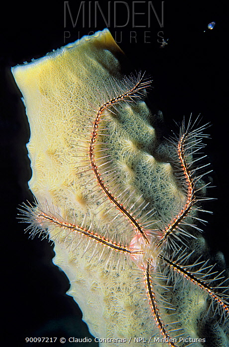 Brittlestar (Ophiothrix suensonii) on Sponge, Banco Chinchorro Biosphere Reserve, Caribbean Sea, Mexico, August  -  Claudio Contreras/ npl