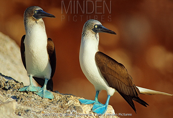 Blue footed booby (Sula nebouxii) pair, Isabel Island National Park, Sea of Cortez (Gulf of California) Mexico, December  -  Claudio Contreras/ npl