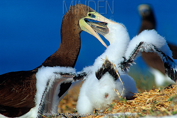 Brown booby (Sula leucogaster) female feeding chick, Isabel Island National Park, Sea of Cortez (Gulf of California) Mexico, December  -  Claudio Contreras/ npl