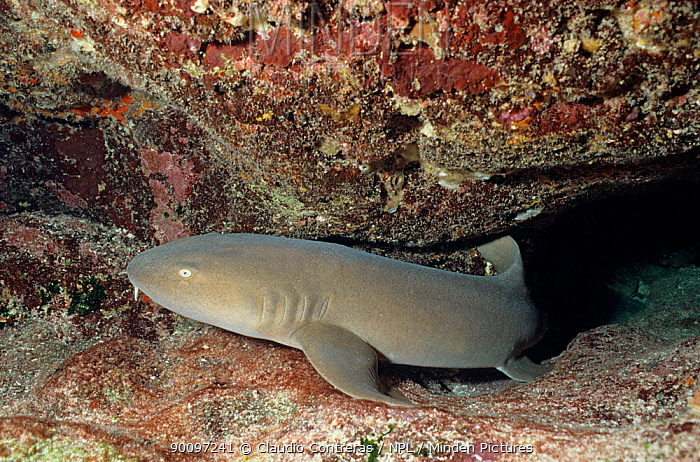Nurse shark (Ginglymostoma cirratum) coming out of hole in rock, Cancun National Park, Caribbean Sea, Mexico, January  -  Claudio Contreras/ npl