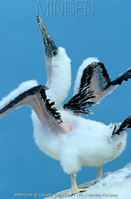 Blue footed booby (Sula nebouxii) chick imitating skypointing display, Isabel Island National Park, Sea of Cortez (Gulf of California) Mexico, April  -  Claudio Contreras/ npl