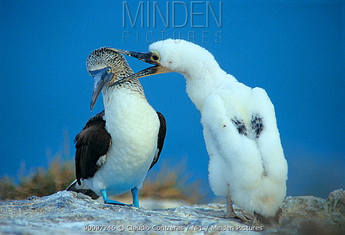 Blue footed booby (Sula nebouxii) with chick, Isabel Island National Park, Sea of Cortez (Gulf of California) Mexico, April  -  Claudio Contreras/ npl