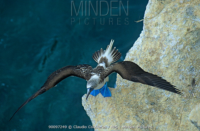 Blue footed booby (Sula nebouxii) on rock face stretching wings, Isabel Island National Park, Sea of Cortez (Gulf of California) Mexico, April  -  Claudio Contreras/ npl