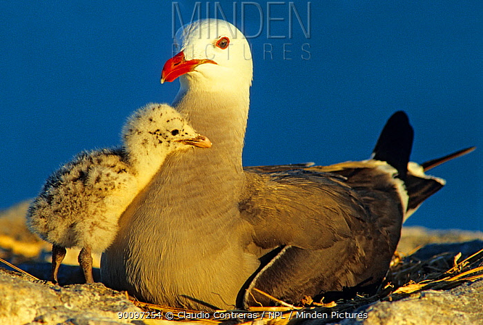 Heermann's gull (Larus heermanni) with chick, Isabel Island National Park, Sea of Cortez (Gulf of California) Mexico, April  -  Claudio Contreras/ npl