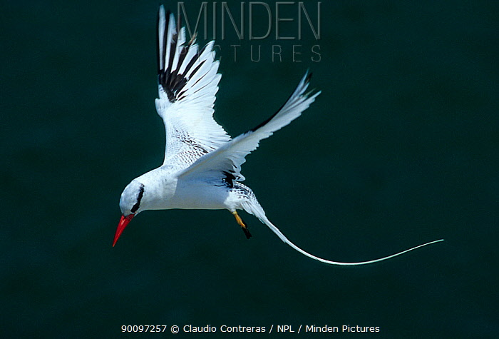 Red billed tropicbird (Phaethon aethereus) in flight, Isabel Island National Park, Sea of Cortez (Gulf of California) Mexico, April  -  Claudio Contreras/ npl
