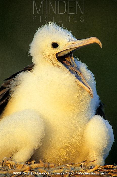 Magnificent frigatebird (Fregata magnificens) chick calling, Contoy Island National Park, Caribbean Sea, Mexico, April  -  Claudio Contreras/ npl