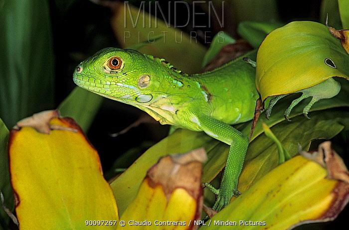 Juvenile Green, Common iguana (Iguana iguana) Morro de la Mancha, Mexico, July  -  Claudio Contreras/ npl