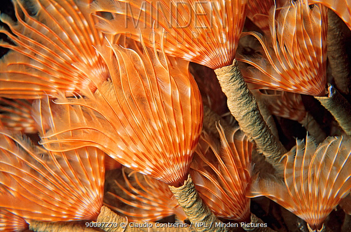 Social feather duster worms (Bispira brunnea) Cancun National Park, Caribbean Sea, Mexico, August  -  Claudio Contreras/ npl