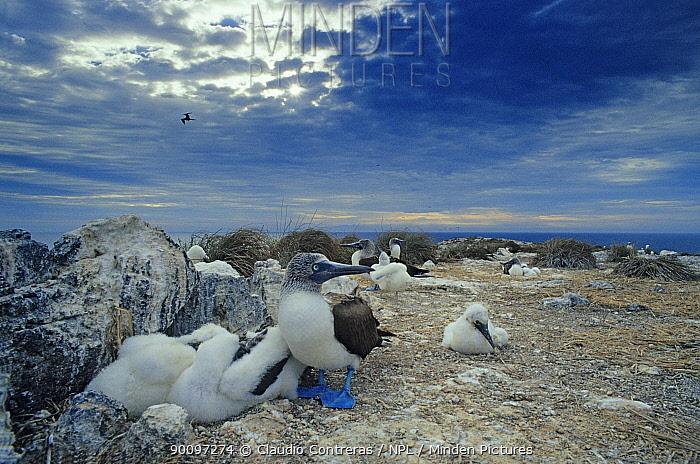 Blue footed booby (Sula nebouxii) colony, Sea of Cortez (Gulf of California) Mexico, March  -  Claudio Contreras/ npl