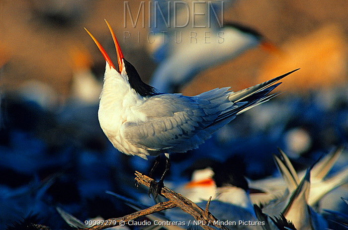 Elegant tern (Thalasseus, Sterna elegans) calling, Rasa Island Special Biosphere Reserve, Sea of Cortez (Gulf of California) Mexico, April  -  Claudio Contreras/ npl
