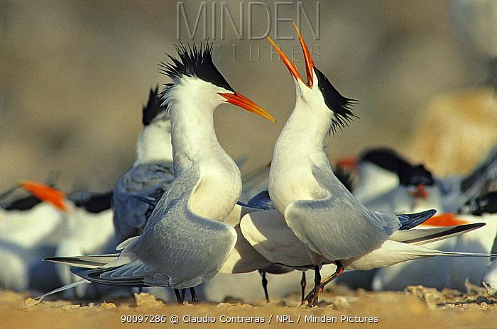 Elegant tern (Sterna, Thalasseus elegans) pair performing courtship dance amongst breeding colony, Rasa Island Special Biosphere Reserve, Sea of Cortez (Gulf of California) Mexico, April  -  Claudio Contreras/ npl
