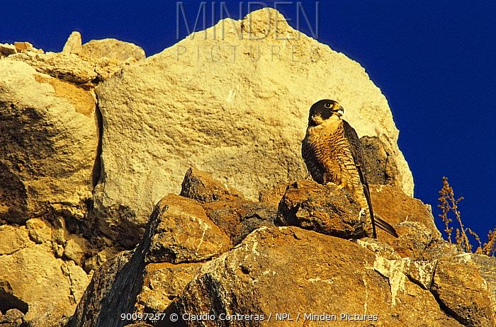 Peregrine falcon (Falco peregrinus) perched on rocks, Rasa Island Special Biosphere Reserve, Sea of Cortez (Gulf of California) Mexico, April  -  Claudio Contreras/ npl