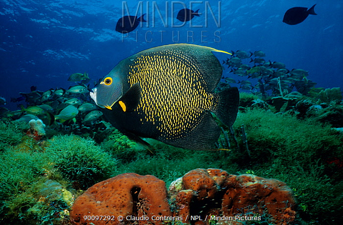 French angel fish (Pomacanthus paru) on coral reef, Cancun National Park, Caribbean Sea, Mexico, July  -  Claudio Contreras/ npl