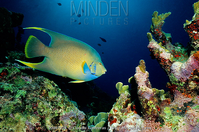 Blue angel fish (Holacanthus bermudensis) on coral reef, Cancun National Park, Caribbean Sea, Mexico, July  -  Claudio Contreras/ npl