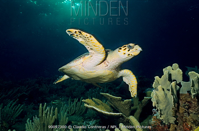 Hawksbill turtle (Eretmochelys imbricata) swimming, Cancun National Park, Caribbean Sea, Mexico, July  -  Claudio Contreras/ npl