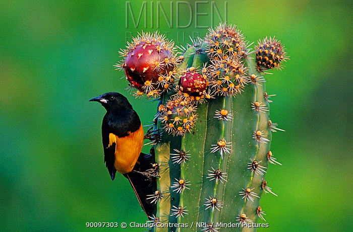 Black-vented oriole (Icterus wagleri) feeding on Pitaya cactus fruit (Stenocereus griseus) Jaumave desert, northeast Mexico, May  -  Claudio Contreras/ npl