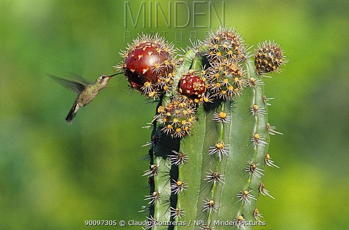 Broad billed hummingbird (Cynanthus latirostris) hovering, feeding on Pitaya cactus fruit (Stenocereus griseus) Jaumave desert, northeast Mexico, May  -  Claudio Contreras/ npl