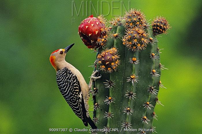 Golden fronted woodpecker (Melanerpes aurifrons) feeding on Pitaya cactus fruit (Stenocereus griseus) Jaumave desert, northeast Mexico, May  -  Claudio Contreras/ npl