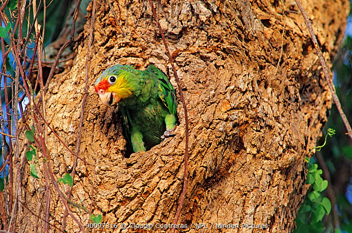 Red lored amazon parrot (Amazona autumnalis) chick emerging from nest hole in tree, captive, Tamaulipas, northeast Mexico, June  -  Claudio Contreras/ npl
